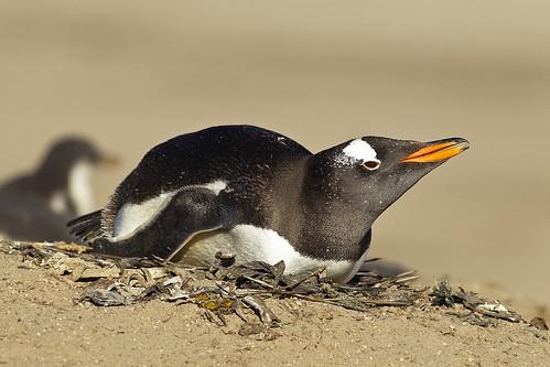 Gentoo Penguin (Pygoscelis papua) - Falkland Islands