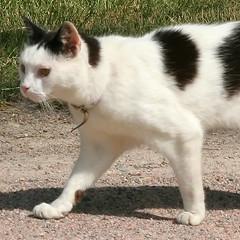Guarding 24/7 (closer watch) (Tomi Tapio) Tags: feet cat walking fur helsinki feline legs arabia paws patrol gravel kissa whiteandblack halftail notmycat directsunlight canonef90300mmf4556usm