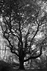 birnam wood (Taurec) Tags: wood tree woods shakespeare dunkeld macbeth birnam schottland