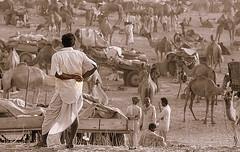 options.... (Milapsinh Jadeja) Tags: view pushkar camels options camelfair