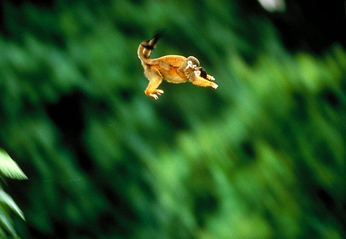 Squirrel Monkey Leaping