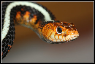 Oregon Red-spotted Garter Snake (Thamnophis sirtalis concinnus)