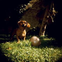 Samba's ObsessiOn (almogaver) Tags: dog game color verde green film grass analog ball holga xpro samba crossprocess slide slidefilm catalunya  gos verd portbou analogic joc pilota gespa jard e6c41 garcen almogaver teckle procscreuat davidroca