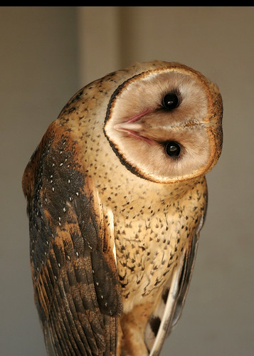 barn owl  (Tyto alba) checking me out.