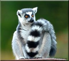 Scarf Tail ! (Rob Vardigans) Tags: lemur d200 bestofflickr stockshot ringtailedlemur smrgsbord naturesfinest goldenglobe allyouneedislove blueribbonwinner mybestphotos ar1 beautyisintheeyeofthebeholder extremebokeh goldenmix golddragon africaalive beautifulcapture mywinners vardigans diamondheart platinumphoto anawesomeshot rationalanimals amazingshots crystalaward yourbestshots ysplix freenature flickrelite naturewatching yourbestshot voyageursdumonde theunforgettablepictures robertvardigans naturewatcher fiveflickrfavs wonderfulworldmix italianflickrworld justhitmewithyourbestshot goldstaraward flickrphotocontests unlimitednatureprivate natureoutdoorlife animalsinzoosparks soloanimales diamondheartgallery naturescreations thewonderfulworldofnature iamnikon
