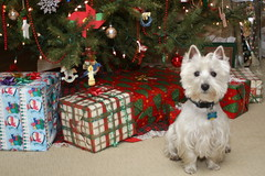 Wee Westie Christmas 2007 (Randy Son Of Robert) Tags: christmas dog pet white tree toys westie canine explore terrier presents yoshi packages 10faves