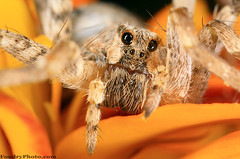 Spider eyes (A.alFoudry) Tags: hairy orange flower macro eye nature animal yellow canon hair insect eos spider photo full micro frame 5d kuwait fullframe tear  f28 kuwaiti araigne arachnida q8 abdullah  mpe 65mm canoneos5d kuw q80  xnuzha alfoudry spidre 15x abdullahalfoudry foudryphotocom  canonmpe65mmf2815xmacrophoto  kvwc kuwaitvoluntaryworkcenter