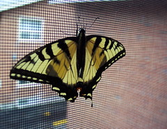 The Butterfly Effect (Tomitheos) Tags: toronto ontario canada yellow tallulah butterfly grid flickr january screen daily urbannature now today 2008 globalwarming stockphotography butterflyeffect comebacktome urbannatureblog  tomitheos viplanet griffinpoetryprize jamiroquaisong iphilidespodaliriusspecies tigersswallowtail poemspoetrylyrics photographwithapoem songstopics