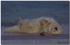 Tumble / Revolcn (SantiMB.Photos) Tags: barcelona espaa dog pet animal spain happiness perro catalunya felicidad garraf cubelles outstandingshots mywinners abigfave impressedbeauty
