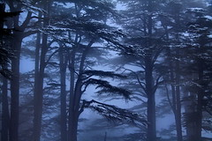 Cedars in Blue (hazy jenius) Tags: wood trip travel blue trees winter lebanon mist nature forest catchycolors spectacular scenery mood view middleeast journey backpack hayes cedars liban libnan thecedars jenius singintheblues jennifer ysplix printortheinternetwithoutmywrittenpermission allmyphotographsarecopyrightedandallrightsreservednoneofthesephotosmaybereproducedandorusedinanyformofpublication hazy