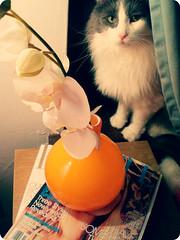 Macaulay (Kaarin) Tags: pink flowers orange pet white glass cat magazine kitten fake kitty vase project3662008
