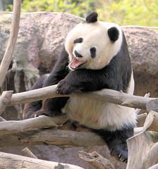 An animated Bai Yun (kjdrill) Tags: china california bear usa animal giant zoo cub panda sandiego baiyun pandas endangeredspecies 4550 zhenzhen