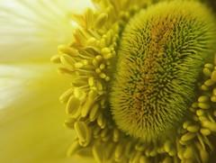 (nolleone--Nol, like Christmas) Tags: flower yellow closeup see yo marco oval flowercenter impressedbeauty diamondclassphotographer flickrdiamond mymagicyellowdress pleasenoawardsorinvitationstogroupswithcompulsoryawardcommentorfavemandatescommentsmostwelcomethankyou yoveomeansisee veomeansi