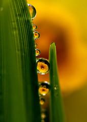 Daffodil drops 3