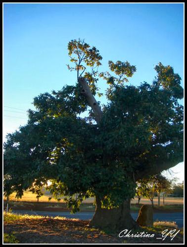 Chestnus Tree