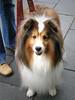 Sheltie girl (tanakawho) Tags: dog pet cute eye smile animal mouth nose tokyo paw furry shoes pavement fluffy jeans ear creature longcoat shetlandsheepdog 馬事公苑 tanakawho