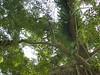 96.11.16竹崎鄉光華村茄苳風景區內的茄苳老樹DSCN3200