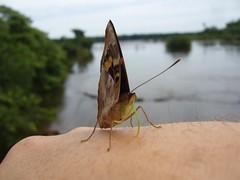 Iguazu - parc - papillon