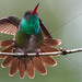 BLUE CHINNED SAPHIRE HUMMING BIRD SURINAM AMAZONE SOUTH-AMERICA