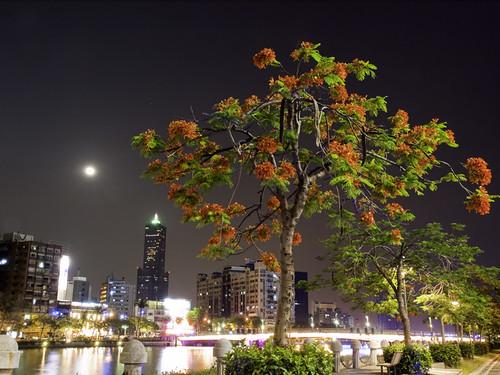 Delonix Regia Flowering at Night 夜看鳳凰花開