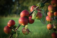 ... (passionable.de) Tags: apple apfel