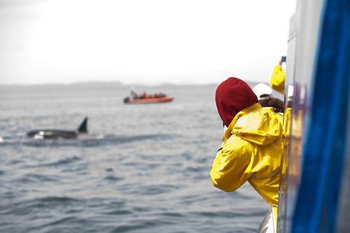Amazing Orcas!