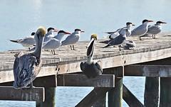 American White Pelicans, Caspian Terns plus a Gull (Pat's Pics36) Tags: texas gulls fulton americanwhitepelican sterna caspiantern sternacaspia pelecanuserythrorhynchos nikond7000 nikkor18to200mmvrlens