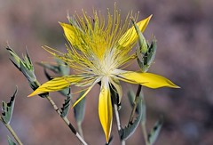 Giant Blazing Star (birding4ever) Tags: 5 americanriverparkway sailorbar doublefantasy simplyflowers floralfantasy mentzelialaevicaulis giantblazingstar worldnatureandwildlifehalloffame freeflickrflowers~fff~ worldnatureandwildlifegroup ohnonotanotherflower naturebirdsandwildlife faunaandfloragroup naturescarousel thewonderfulworldofnature naturewithallitswonders naturallywonderful floraaroundtheworld fffioriefarfalleflowersbutterflys prestigenaturecompetitionsrus thenaturesbestwildlifegroup defenders{nature}macroandcloseup thesunshinegroup sunrays5 birdsarebestbutnatureisfabtoo ourwonderfulandfragileworld madaboutflowers mostbeautifulmacroimages flowerthequietbeauty