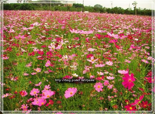 粉紫色波斯菊