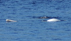 DSC02566 Beluga with calf