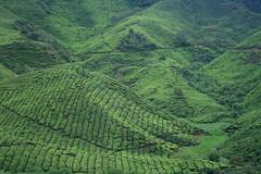 IMG_9137_cr2 (huai*) Tags: highlands tea cameron teaplantation