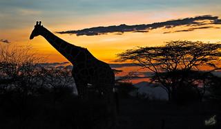 Reticulated Giraffe at sunset