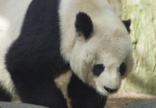 Photo of a panda