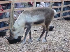 Reindeer at Edinburgh's Reindeer Garden.jpg