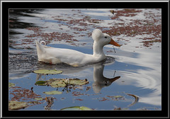 A Duck called Elvis-8024 (Barbara J H) Tags: bird duck australia qld sunshinecoast whiteduck crestedduck whitecrestedduck barbarajh northbuderimlake elvistheduck