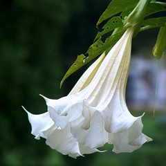 Wet Trumpet (rene1956 (Burning the Midnight Lamp)) Tags: white flower macro nature wet fauna flora photographer dof raindrops raindrop blooming brugmansia whitebells naturesfinest rosendael bloomingflower rozendaal theperfectphotographer