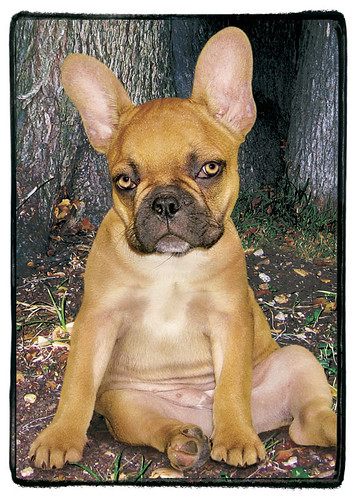 "French Bulldog  ""Bella"""