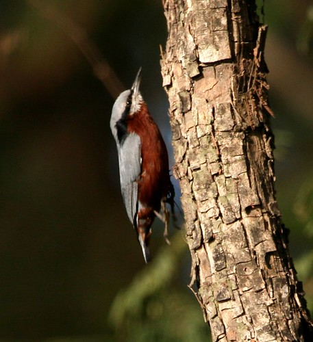 Cheastnut Bellied- Nuthatcher (Sitta castanea) - In Flight