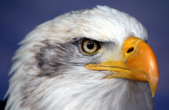 Eagle Portrait.. (law_keven) Tags: england birds kent eagle feathers raptors avian birdsofprey feathery naturesfinest featheryfriday theunforgettablepictures theperfectphotographer goldstaraward photoexel