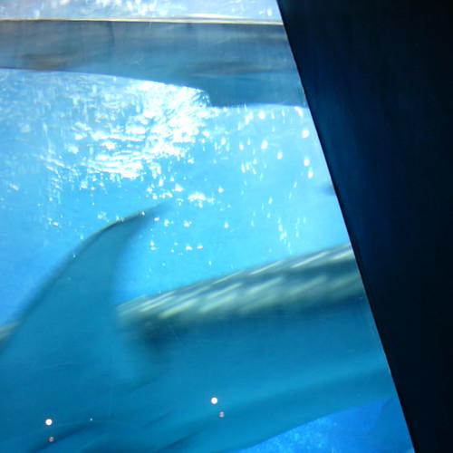 【写真】Whale Shark [ Kunigami District / Okinawa ]
