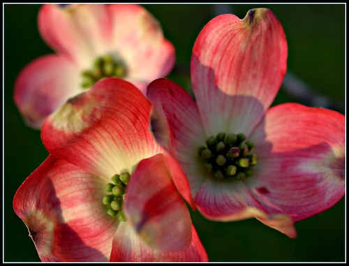 Pink Dogwood Flowers Pictures