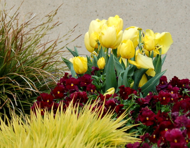 yellow_tulips