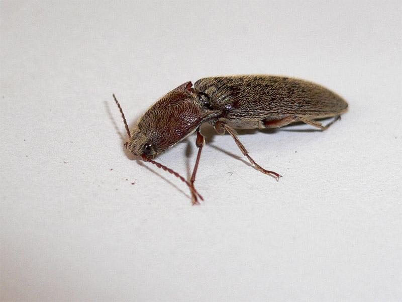 a click beetle 叩頭蟲