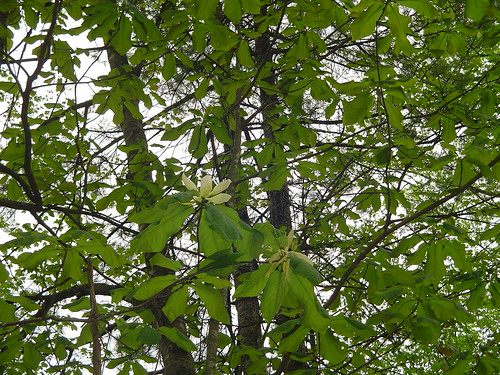 Mockernut Hickory  Carya alba