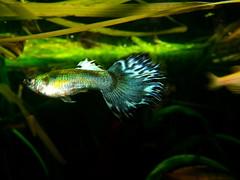 Blue guppy (threefingeredlord) Tags: blue fish male aquarium tank mosquito guppy planted poecilia reticulata livebearer fishspeciesgroup millons