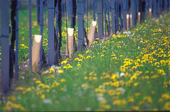 Vigneto_63 (Borgo San Daniele) Tags: uva vigne viti cormons montequarin