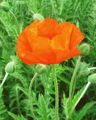 Orientalischer Mohn (ernst_raser) Tags: flowers red orange flores nature fleurs natur blumen mohn botanik botanischergarten mohnblume