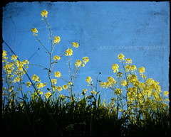 nature's gold flecks (eatzycath) Tags: texture yellow israel bluesky chapeau wildflowers megiddo nikond200 18200mmf3556gvr