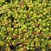スルツェイ島:Honckenia peploides 2004