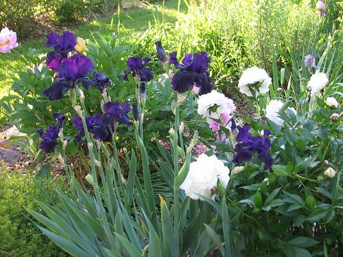 Iris 'Edge of Night'